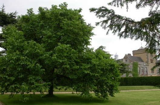 mulberry tree (3)